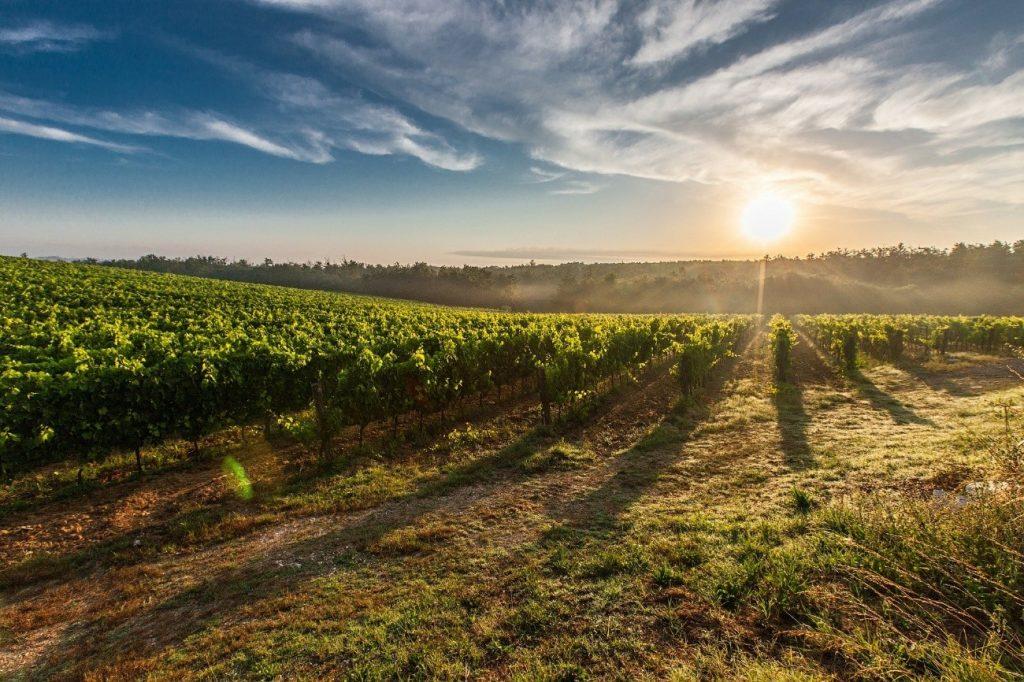 ワイン土地画像4-畑